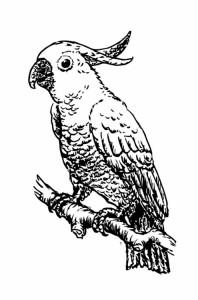 LeBeau, der Kakadu